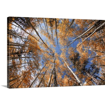 Great Big Canvas Scott Stulberg Premium Thick Wrap Canvas Entitled Aspen Trees With Fall Color In Flagsaff  Arizona