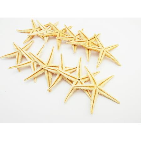 Large Sea Shells (12 Extra Large Size Starfish - Philippine Tan Flat Sea Stars (3