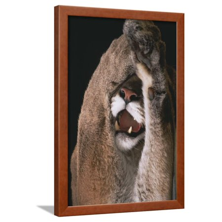 Mountain Lion with Paws over Eyes Framed Print Wall Art By DLILLC](Lion Paw Print)