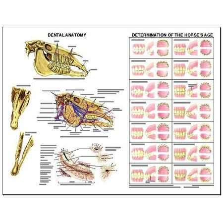Equine Dental Anatomy Wall Chart