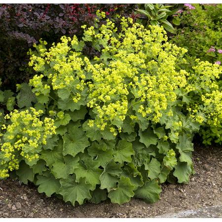 Thriller ladys mantle perennial alchemilla live plant quart thriller ladys mantle perennial alchemilla live plant quart pot mightylinksfo
