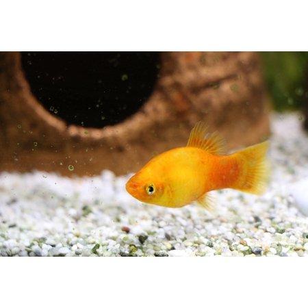Canvas Print Freshwater Fish Water Aquarium Perch Fish Toy Stretched Canvas 10 x 14 (Fish Perch)