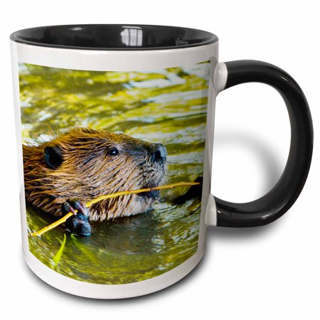 3dRose American Beaver, Stanley Park, British Columbia-CN02 PCL0173 - Paul Colangelo - Two Tone Black Mug, 11-ounce - Stanley Park Halloween