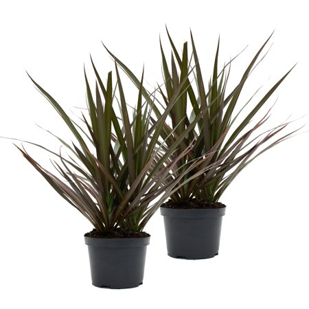 Image of Delray Plants Dracaena Marginata Tree (Dracaena marginata) Madagascar Dragon Tree Easy to Grow Live House Plant, 6-inch Black Grower's Pot, 2-Pack