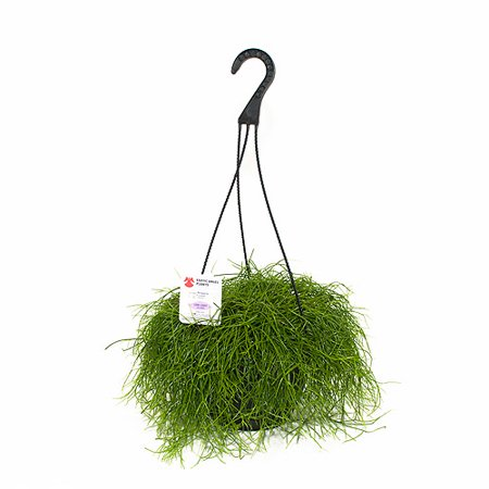 Image of Exotic Angel Plants 8.0 Hanging Basket R