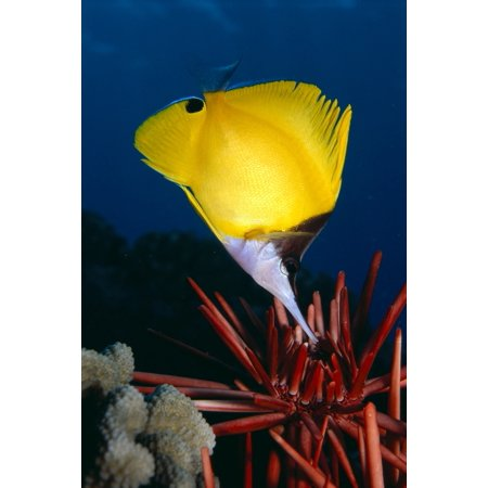 Hawaii Long Nose Butterfly Fish (Forcipiger Sp) Over Pencil Urchin A85D - Long Nose Butterfly Fish