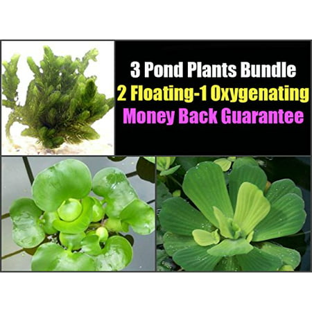 Pond Oxygenating Plants (3 Pond Plants Bundle - Water Lettuce, Water Hyancinth and Hornwort)