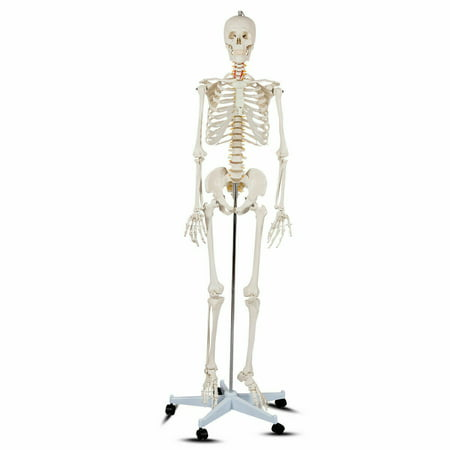 Costway Life Size Human Anatomical Anatomy Skeleton Medical Model + - Life Size Skeletons