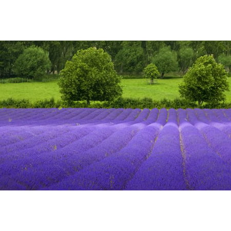 Lavender Common English Nice Garden Flower 1,000 Seeds
