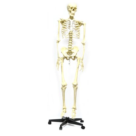 Articulated Life Sized Human Skeleton Model (62