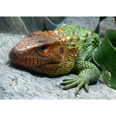 Framed Art For Your Wall Exotic Macro Head Lying Reptile Caiman Lizard 10x13 Frame
