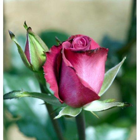Deja Blue My Bouquet Rose Bush   Almost Thornless   4  Pot