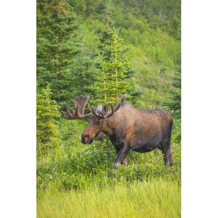 Bull moose in velvet Kincaid Park Anchorage Southcentra Alaska summer Stretched Canvas - Michael Jones  Design Pics (12 x