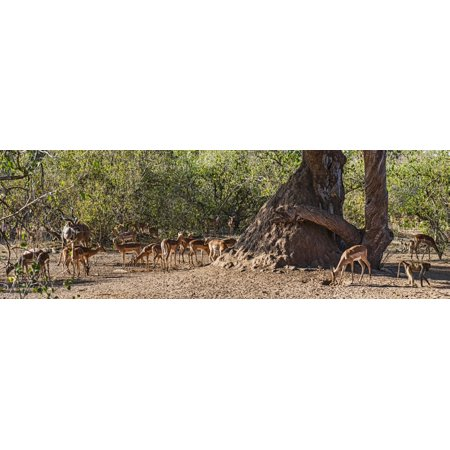 Impalas (Aepyceros melampus) Kudu and Baboons in a forest Mashatu Game Reserve Botswana Stretched Canvas - Panoramic Images (27 x 9) ()