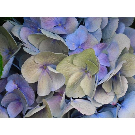 Canvas Print Flower Hydrangea Blossom Bloom Summer Plant Stretched Canvas 10 x