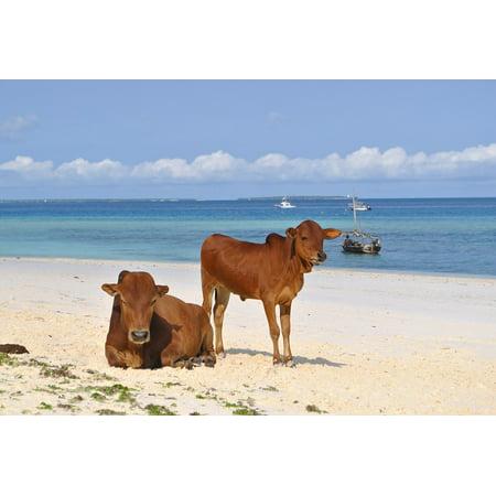 Laminated Poster Cows Beach Tanzania Africa Sea Zanzibar Poster Print 11 x 17 (Zanzibar Set)
