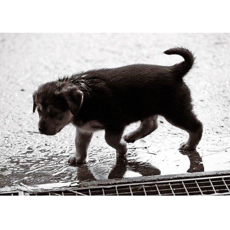 Canvas Print Wet Dog Pet Sweet Rain Dog Puppy Puppy Baby Stretched Canvas 32 x 24