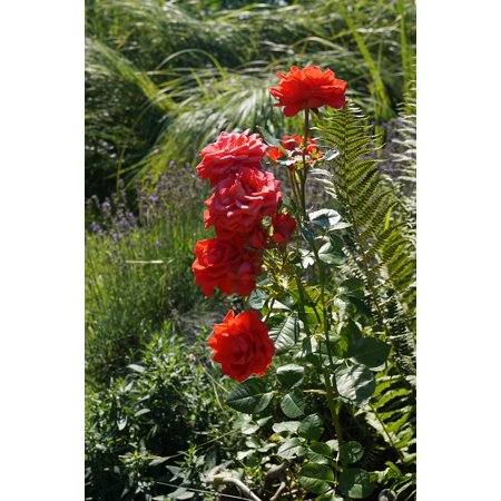 Laminated poster rose family red wild rose nature plant for Rose adesive