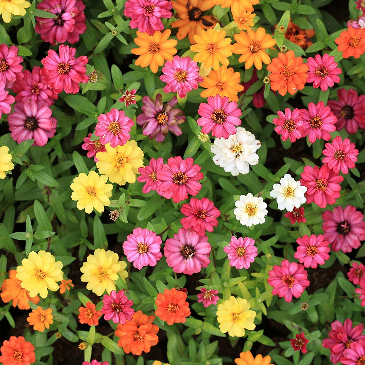 Zinnia Flower Garden Seeds   Profusion Series   Seven Color Mix   500 Seeds    Annual