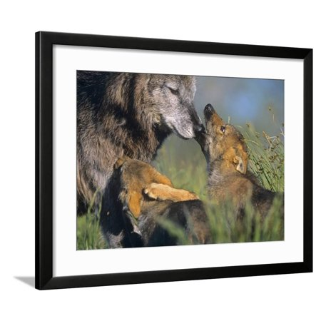 Gray Wolf and Pups Playing, Montana Framed Print Wall Art By Tim - Wolf Grey Retro 5 For Sale