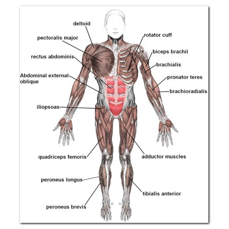 Muscle System Posters Silk Cloth Chart Human Body Anatomy Educational Decor, 23