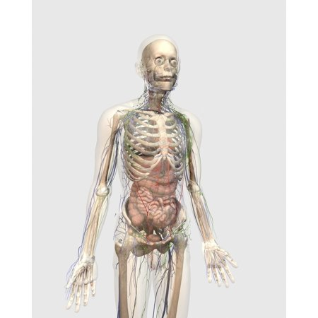 Transparent human body with internal organs lymphatic system and circulatory system Poster