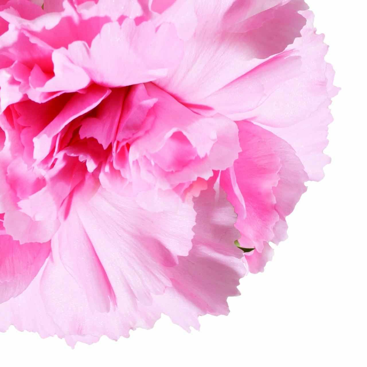 Natural Fresh Flowers Pink Carnations 100 Stems Walmart