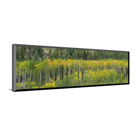 Aspen trees in a forest along U.S. Route 50, Colorado, USA Wood Mounted Print Wall Art