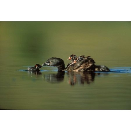 Pied-billed Grebe parent with two chicks on its back and one learning to swim New Mexico Poster Print by Tim Fitzharris (10 x 14) (Its Chick)