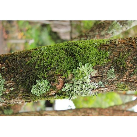 Lichen Natural (Canvas Print Green Lichen Close Up Plant Moss Natural Nature Stretched Canvas 10 x)