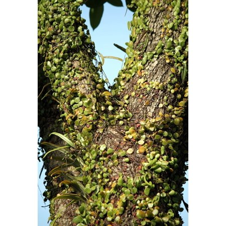 - Peel-n-Stick Poster of Vine Environment Nature Branch Natural Tree Poster 24x16 Adhesive Sticker Poster Print