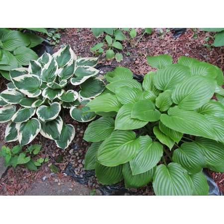 Canvas Print Plants Perennial Shade Plants Garden Hostas Hosta Stretched Canvas 10 x