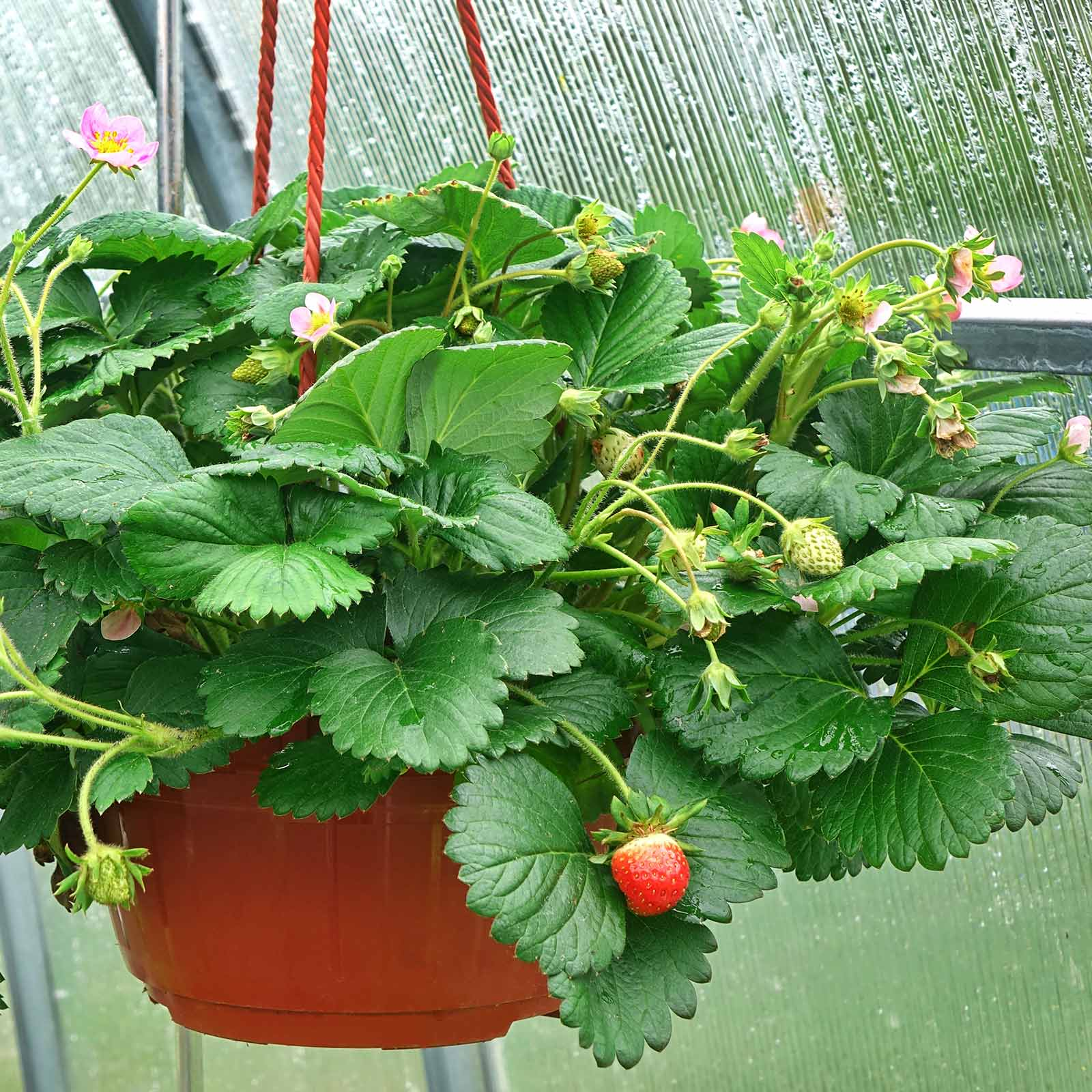 Strawberry Fruit Garden Seeds - Berries Galore Hybrid Pink - 100 Seeds - Non-GMO Fruit Gardening