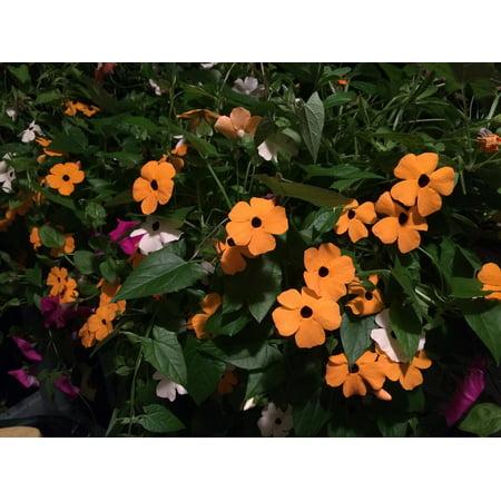 Canvas Print Garden Vine Orange Flowers Black Eyed Susan Vine Stretched Canvas 10 x (Black Eyed Susan Vine)