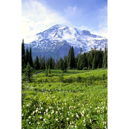 Washington Mt Rainier National Park Avalanche Lilies In Meadow Along Nisqually Vista Trail Stretched Canvas - Greg Vaughn  Design Pics (12 x 19)