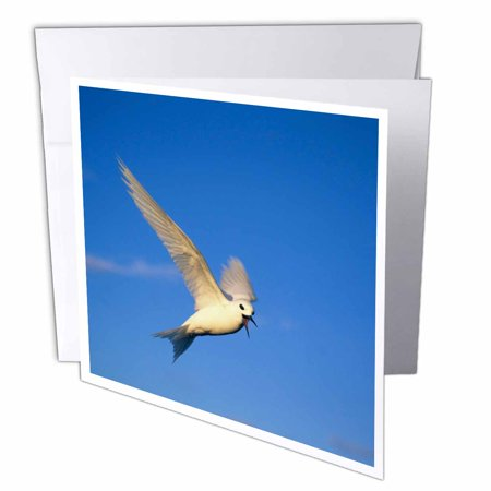 3dRose Common Fairy Tern, bird, Ascension Island - NA02 KSC0007 - Kevin Schafer, Greeting Cards, 6 x 6 inches, set of 12