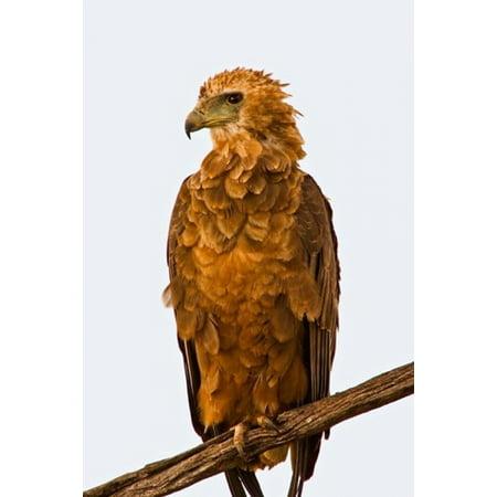 Tawny Eagle - Tawny Eagle on branch above the Maasai Mara Kenya Stretched Canvas - Joe Restuccia III  DanitaDelimont (11 x 17)