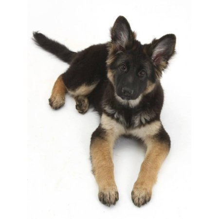 German Shepherd Dog Bitch Pup, Coco, 14 Weeks Old, Lying Down and Looking Up Print Wall Art By Mark
