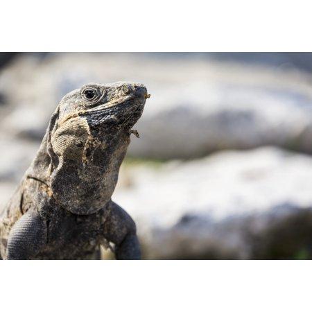 Close Up Of A Lizard Tulum Quintana Roo Mexico Posterprint
