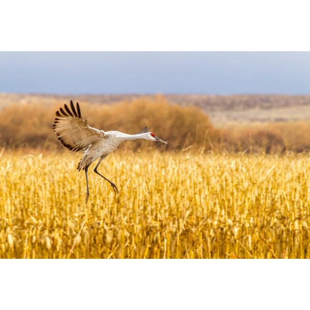 Usa New Mexico Bosque Del Apache National Wildlife Refuge Sandhill Crane Landing Credit As Cathy Gordon Illg Jaynes Gallery Poster Print By Jaynes Gallery Walmart Com Walmart Com