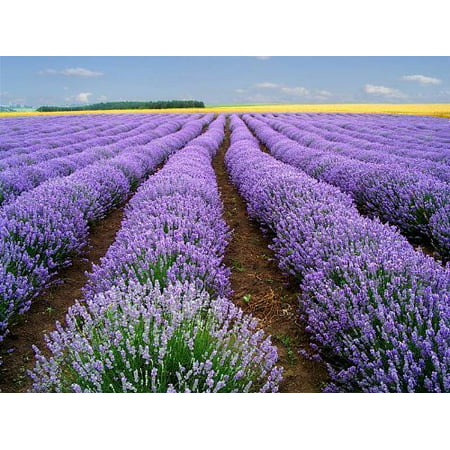 500 TRUE ENGLISH LAVENDER VERA Lavender Augustifolia Vera Herb Flower