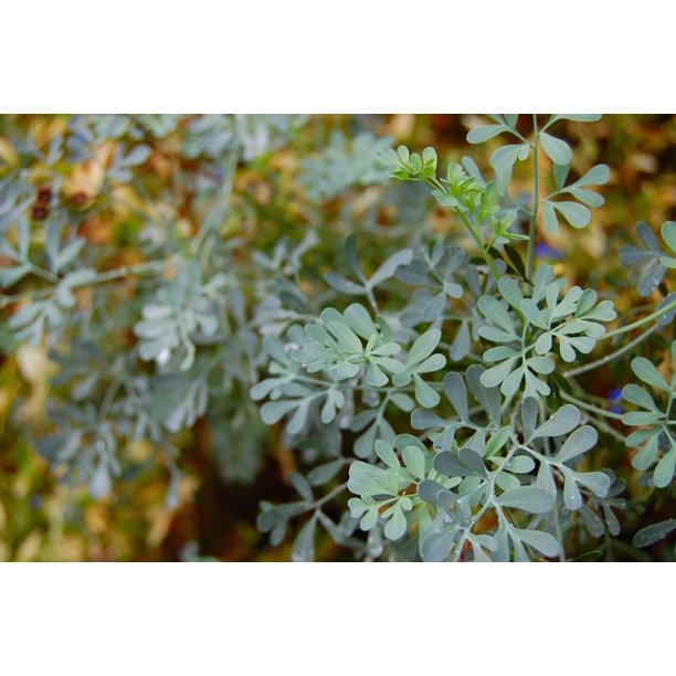 Plant Common Rue Herb Of Grace Ruta Graveolens Herb Poster Print