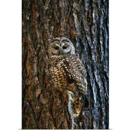 Great BIG Canvas David Ponton Poster Print entitled Mexican Spotted Owl Camouflaged Against Tree Bark