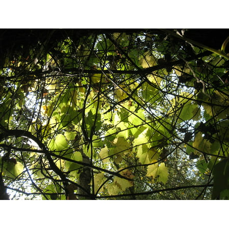 Canvas Print Sunshine Autumn Lights Wild Grapes Leaves Stretched Canvas 10 x (Wild Grape)