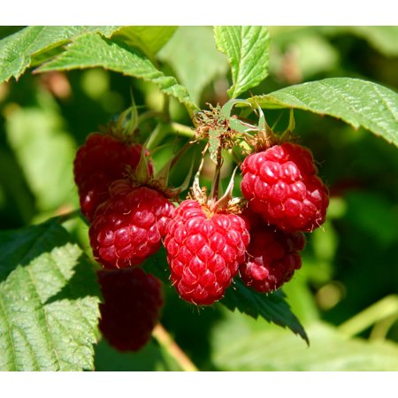 "Willamette Red Raspberry Plant - 2.5"" Pot"
