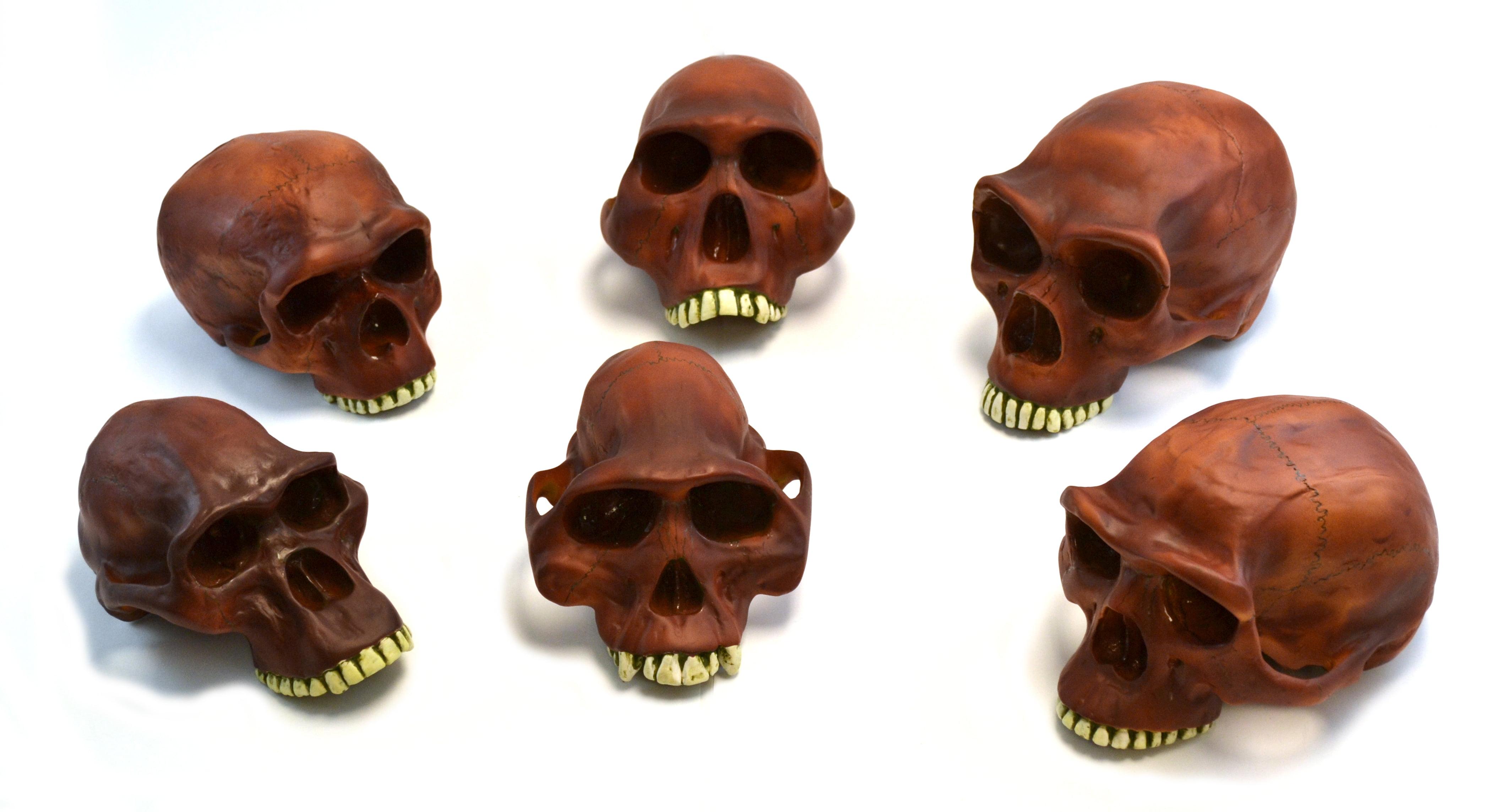 "Eisco Labs 10"" Prehistoric Skulls- Set of 6 , Neanderthal Cranium etc. by EISCO"