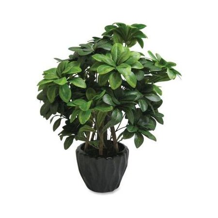 First Base Elementals Pittosporum Tobira Plant Fst27216