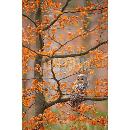 Grey Ural Owl, Strix Uralensis, Sitting on Tree Branch, at Orange Leaves Oak Autumn Forest, Bird In Print Wall Art By Ondrej (Oak Leaves Lace)