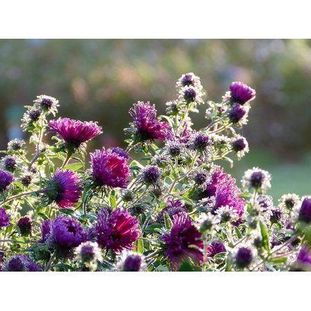 - Canvas Print Sunrise Dew Asters Purple Flowers Morning Autumn Stretched Canvas 10 x 14