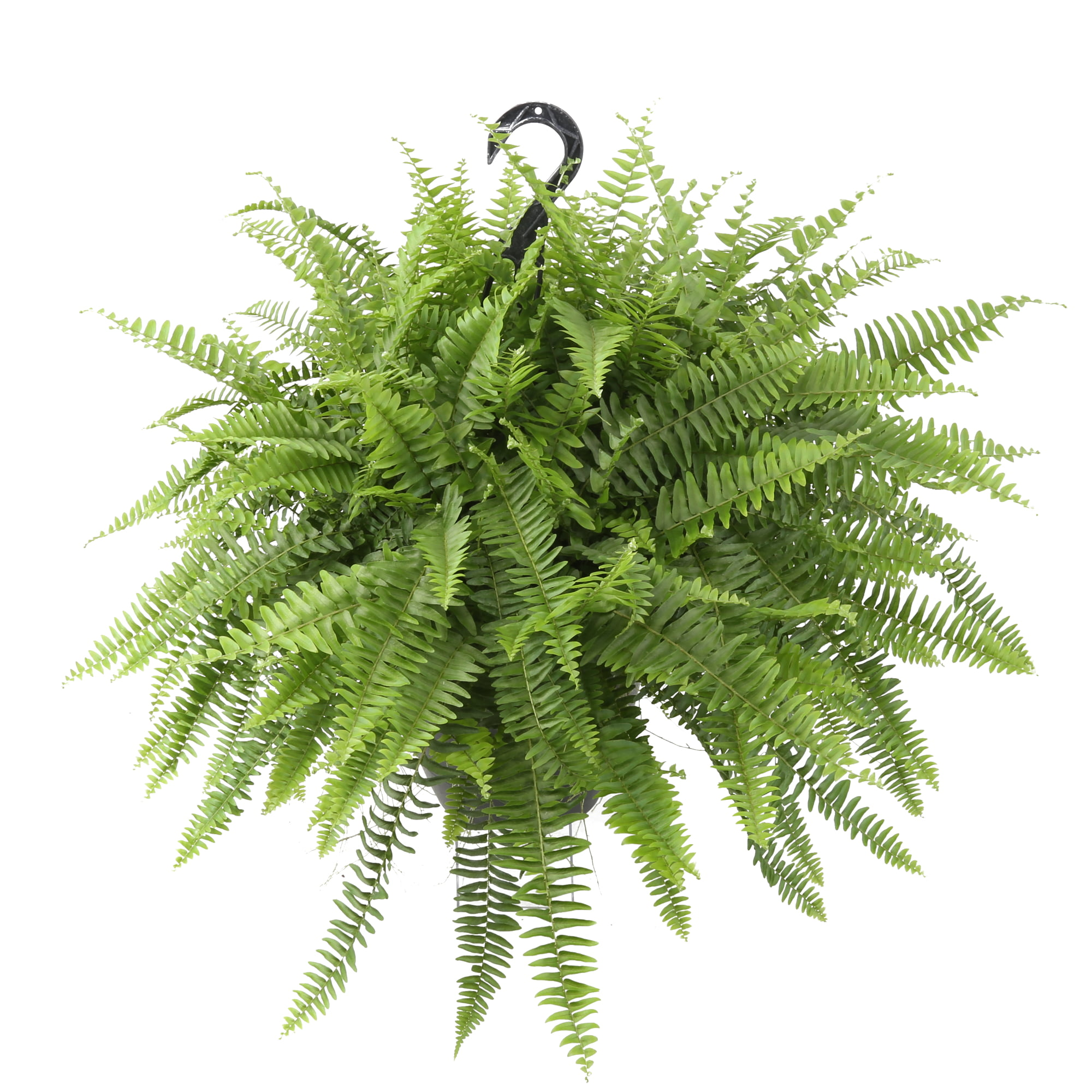 Costa Farms Live Indoor 20in. Boston Fern, Hanging Basket